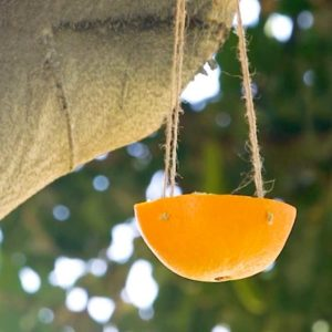 Citrus Bird Feeder Hanging in Tree