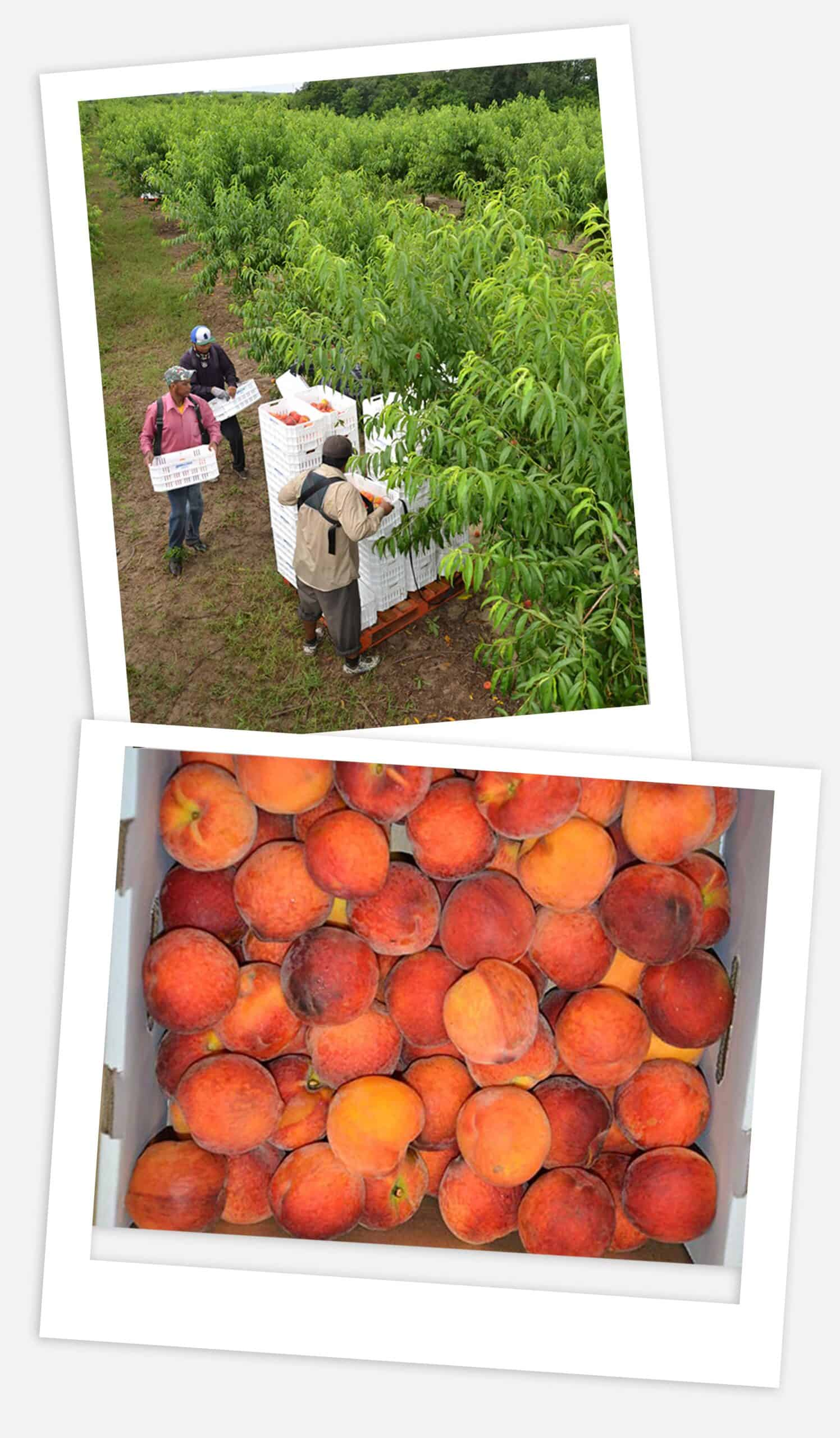 Florida classic growers with peaches
